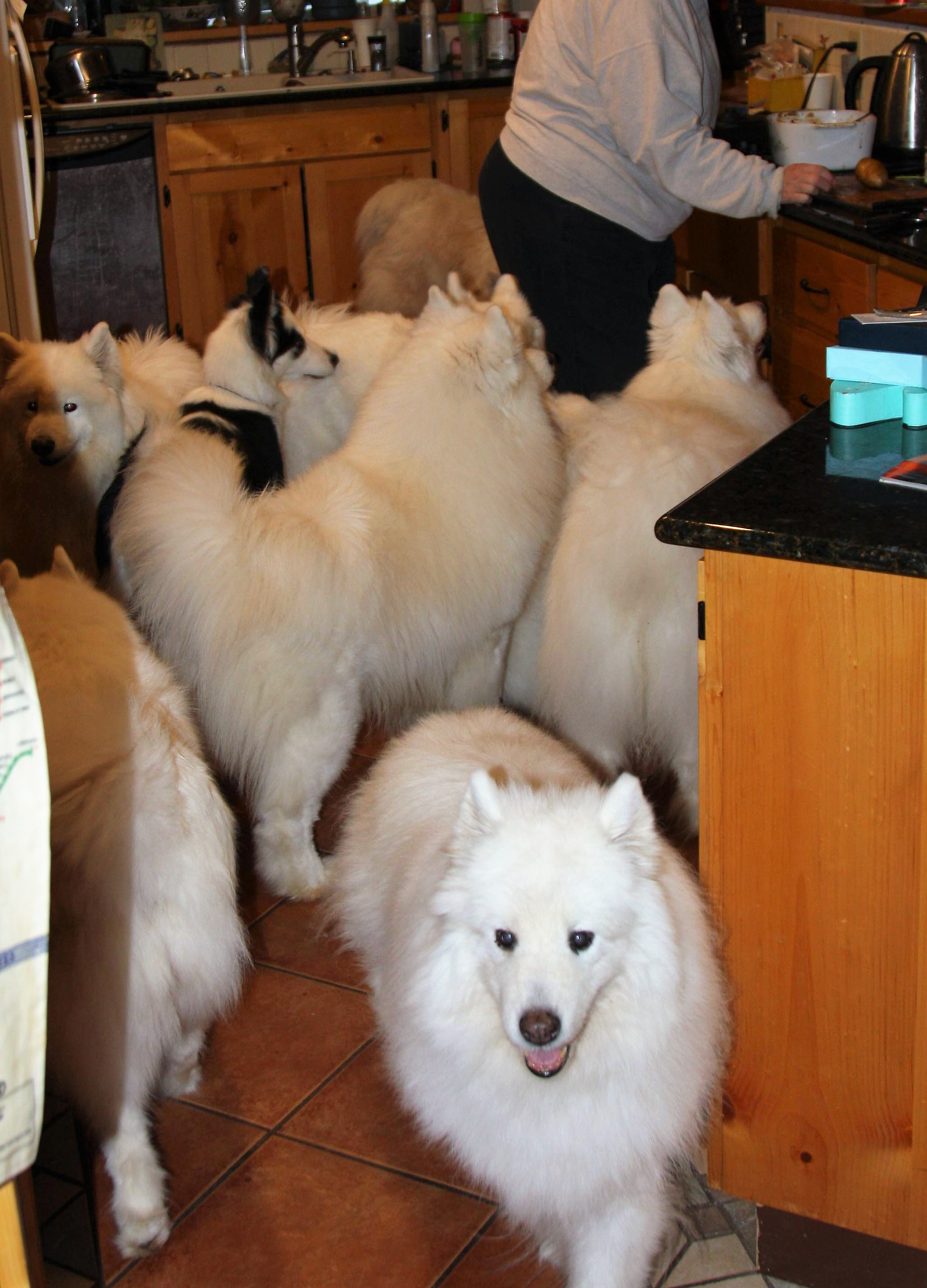 Sancha Samoyeds | Quality dogs for work and play